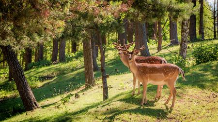 새벽, 폴란드, 유럽의 숲에 멋진 사슴 스톡 콘텐츠