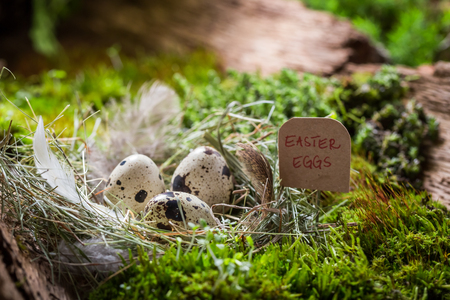 Closeup of quail eggs for Easter in the nest