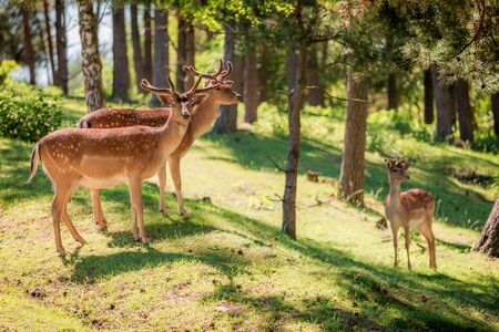 Young deers in forest at sunny day in summer, Poland