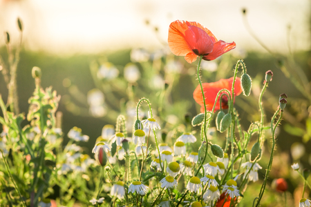 Red poppy seed in the field at sunset, Europe
