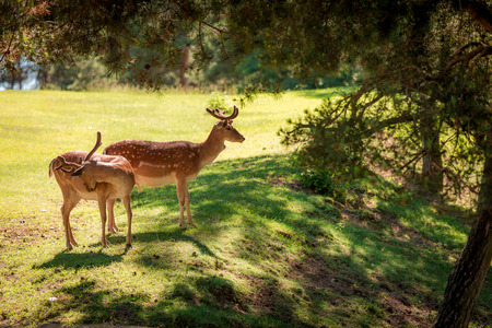 Deers in forest at sunny day in summer, Poland, Europe