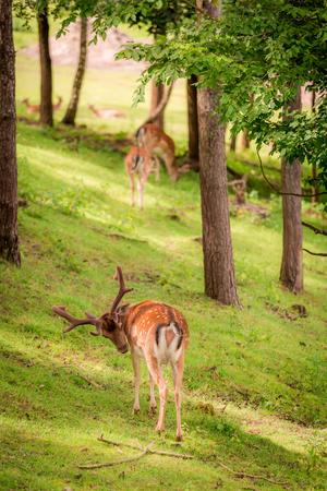夏の日当たりの良い森の鹿、ポーランド、ヨーロッパ 写真素材