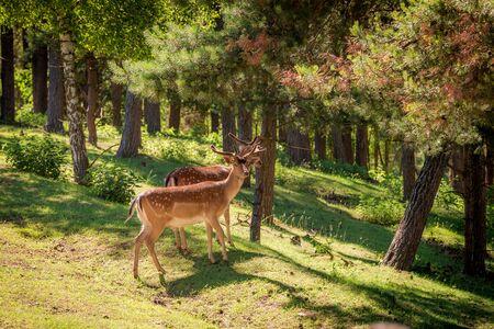 새벽, 폴란드, 유럽에서 숲에서 멋진 deers