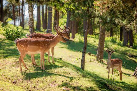 화창한 여름, 유럽의 숲에서 멋진 deers