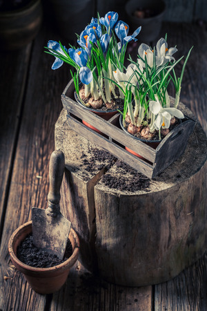 Closeup of young colourful hyacinth in an old wooden box