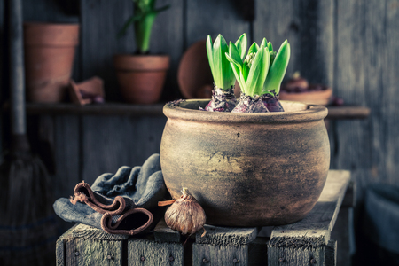 Young spring flowers with old clay pots in wooden shed Stockfoto