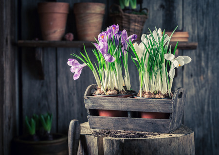 Closeup of colourful hyacinth in an old wooden box