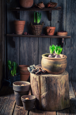 Small green plants in the rustic wooden cottage Stockfoto
