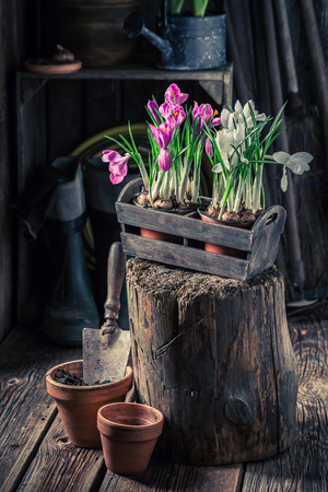 Closeup of repotting a blue hyacinth in wooden box Stockfoto