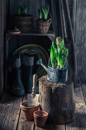 Small green crocus and old clay pots