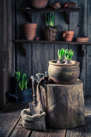 Planting a green crocus using a fertile soil Stok Fotoğraf