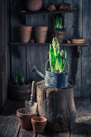 Closeup of colourful hyacinth in an old wooden cottage Stockfoto