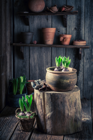 Small green crocus in old red pots
