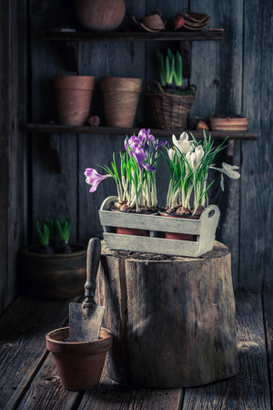 Repotting spring flowers on old wooden box Stockfoto