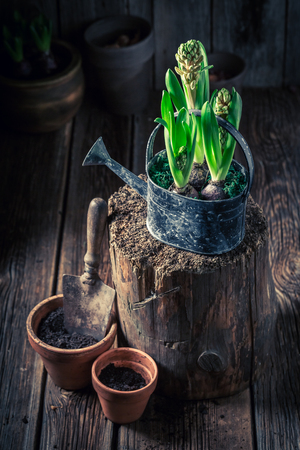 Repotting spring green flowers in old clay pots Фото со стока