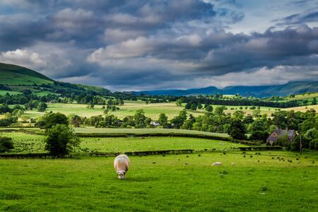 Sheeps grazing on pasture in England, Europe Banco de Imagens