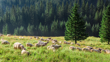 Big flock of sheep grazing in green valley, Tatras, Poland