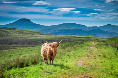 Brown highland cow and green field, Scotland