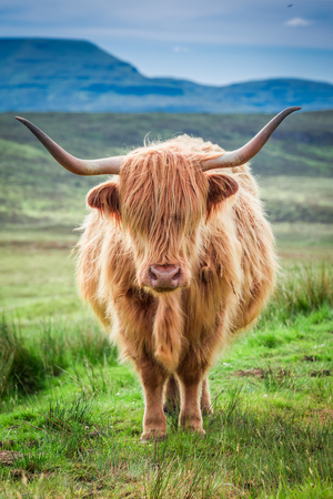 Closeup of brown highland cow in Scotland