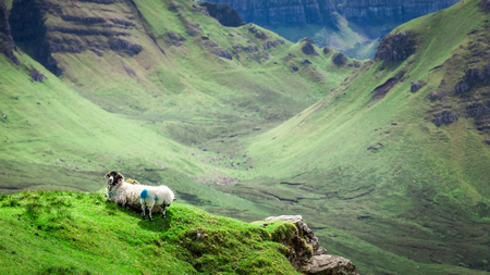 Sheeps on green hills in Quiraing, Isle of Skye, Scotland Stock Photo