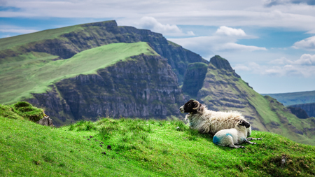 View to sheeps on green hills in Quiraing in Scotland Stock Photo