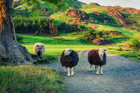 Two sheeps on pasture at sunset in the Lake District Banco de Imagens