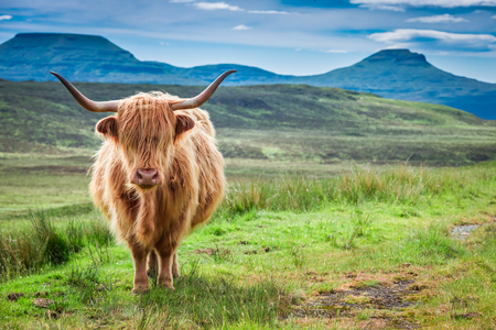 Braune Hochlandkuh, grünes Feld und blauer Himmel, Schottland