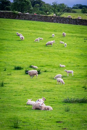 Green pasture full of sheep, Lake District, England