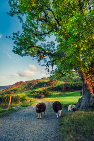 Sheeps on footpath in the Lake District at sunset, England
