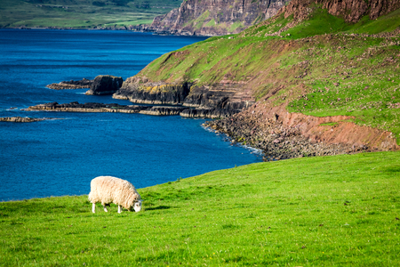 Breathtaking view to white sheeps on green cliffs, Scotland