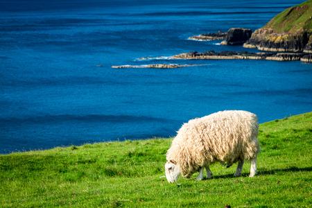 Sheeps on the coast in summer, Scotland, UK Stok Fotoğraf
