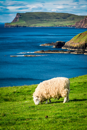 Sheeps on the coast in Scotland, UK
