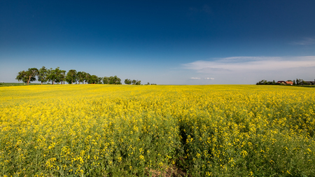 Amazing yellow field of rape in sunny day 写真素材