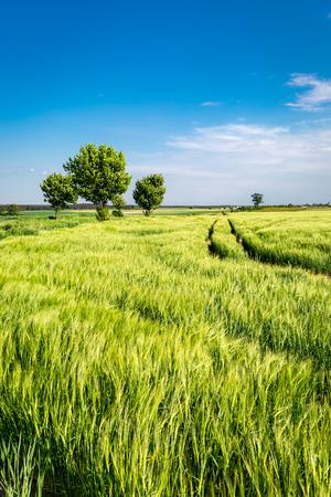 Amazing ears of grain on green field in summer Standard-Bild - 104505480