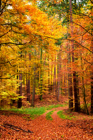 Yellow and green path in the autumn forest, Poland Standard-Bild - 105626258