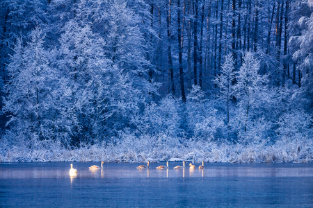 Swans on winter lake at sunrise and frozen forest