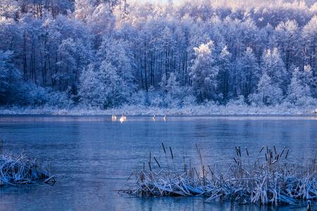 Few swans on frozen lake at sunrise, Poland