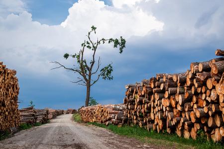 Immagazzinato nell'abbattimento degli alberi della foresta in primavera