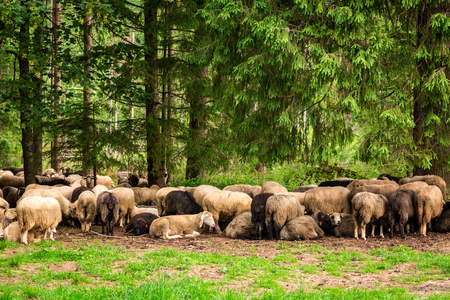 Beautiful grazing herd of sheep in Tatra Mountains Stockfoto