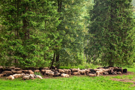 Beautiful flock of sheep grazing in Tatra Mountains