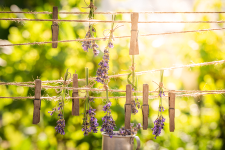 Homegrown and fresh lavender dried on laundry lines