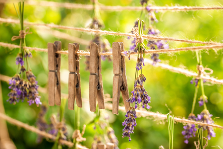 Fresh and fragrant lavender dried on laundry lines Imagens