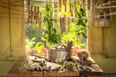 Aromatic herbal dryer with oregano in a summer garden