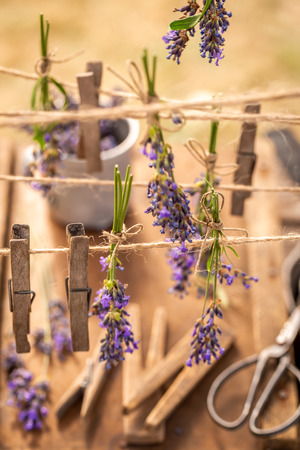 Homegrown and fresh lavender ready to dry in countryside Imagens