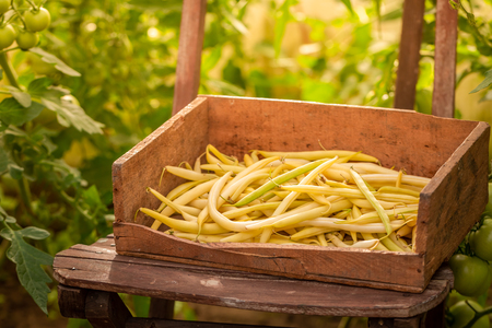 Raw yellow beans in an old wooden box in greenhouse Stock Photo