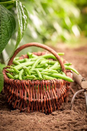 Healthy green beans in a wicker basket on the field Stock Photo