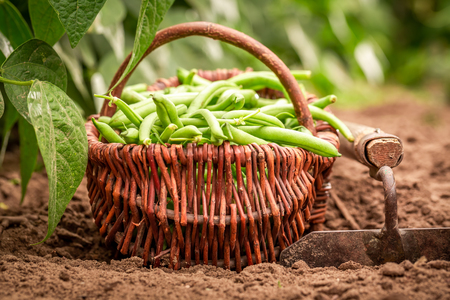 Closeup of fresh green beans in a wicker basket Stock Photo
