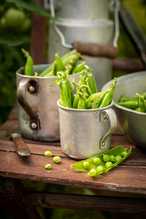 Harvested green peas in a small greenhouse
