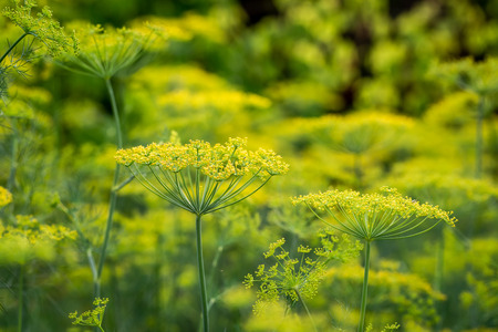 Green dill on the field in countryside
