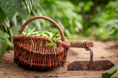 Fresh green beans in a wicker basket on countryside